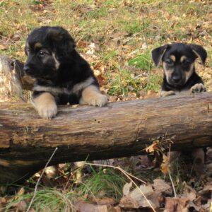 1 Welpen/Puppies